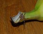 Ragno Banane