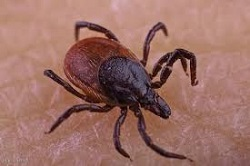 Zecca meningoencefalite
