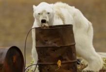 immagine shock orso polare
