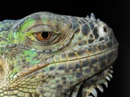 Iguana Florida neve