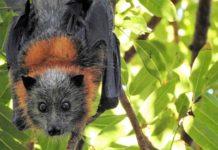 Pipistrello volpe volante australia caldo