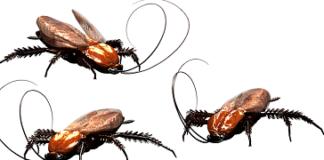 insetto orecchio