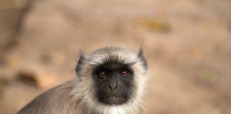 Scimmia Languri mangiata in diretta su facebook