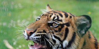 Tigre circo