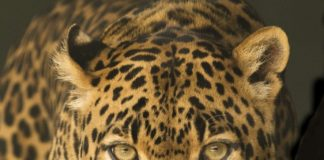 Leopardo sbrana bambina in India