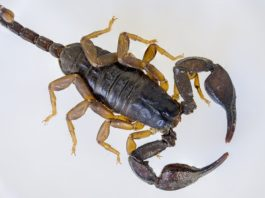 Scorpione aereo
