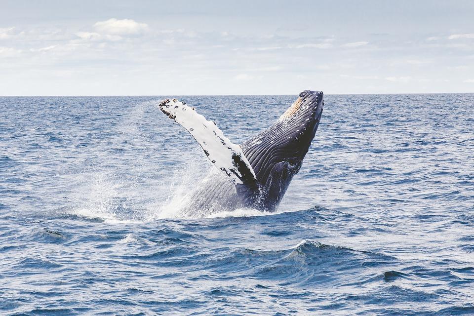 Balena inghiotte e risputa uomo