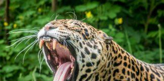 Giaguaro aggredisce turista