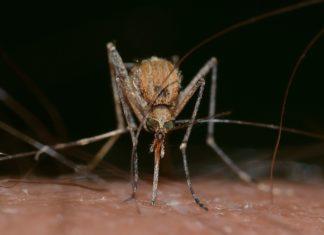 Zanzara animale più mortale al mondo