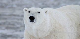 Orso polare salvato in elicottero