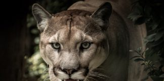 Puma azzanna bambino