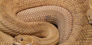 45 serpenti a sonagli sotto l'abitazione