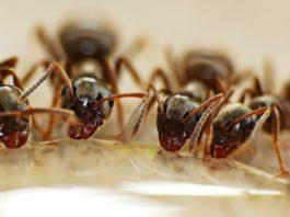 Formiche insetti