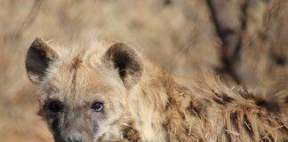 Branco iene sbrana uomo