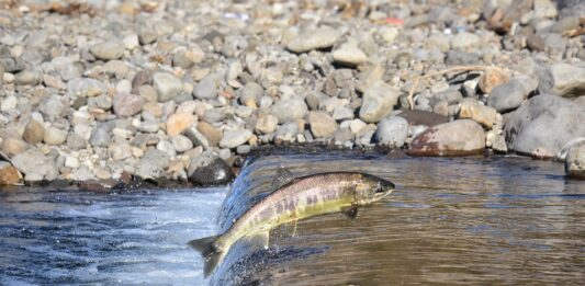 salmone fiume